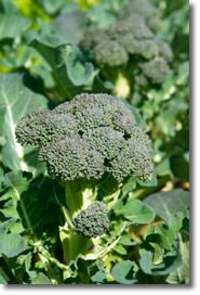 Growing Broccoli, Planting Broccoli, and How to Grow Broccoli