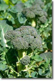 Growing Broccoli, Planting Broccoli, and How to Grow Broccoli