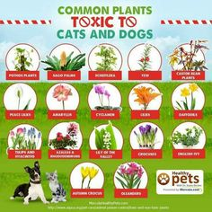 Sadly, every year we hear about animals that have lost their lives by eating or chewing on common garden plants. With the heat … Plants Toxic To Dogs, Cat Safe Plants, Big Indoor Plants, Outdoor Plants, Indoor Succulents, Outdoor Flowers, Indoor Gardening, Hanging Plants, Pet Care