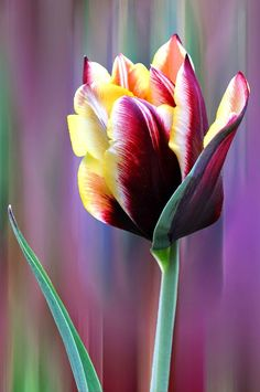 The Beauty of Tulips