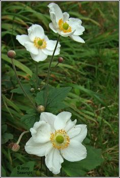 Irish Wildflowers - Japanese Anemone, Anemone x hybrida