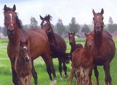 paarden met veulens