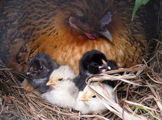 chicks, hen, chicken, broody, araucana, orpington, bantam, lucy patterson, hatched, hatch, nest, free range