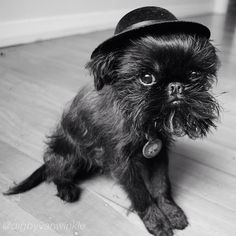 The Brussels Griffons Of Instagram