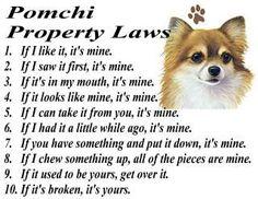 POMCHI POMERANIAN CHIHUAHUA MIX DOG PROPERTY LAWS T SHIRT = S M L XL