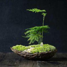 Asparagus fern and moss bonsai arrangement. Asparagus fern and moss bonsai arrangement. Terrarium Plants, Bonsai Plants, Bonsai Garden, Garden Plants, Moss Terrarium, Mini Zen Garden, Indoor Garden, Garden Art, Indoor Plants