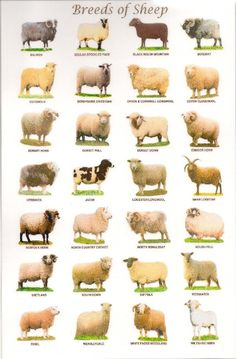 Breeds of sheep Fabric Art Cloth Poster / Decor 01 Farm Animals, Animals And Pets, Cute Animals, Wild Animals, Sheep Art, Sheep Wool, Pet Sheep, Sheep Fabric, Sheep Breeds