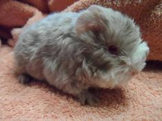 Grey long haired guinea pigs. So cute. I want this one :)