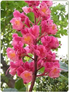 Flores de Bach - Red Chesnut - Castaño rojo