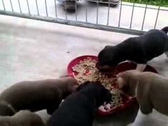 Rat Terriers: First Puppy Food