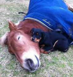 Too cute!! Napping horse with cozy Rottweiler pup.