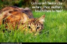 """Fun Cat Facts #22 - did not know that either.  just thought they all had that """"instinct."""""""