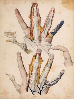 'The Fingers' From 'Illustrations of surgical anatomy, with explanatory references' by John Burt, 1833.