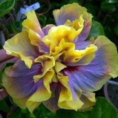 200 Hibiscus Flower Seeds, Mixed different Colors, DIY Home and Garden ornamental potted or yard flower plants Unusual Flowers, Unusual Plants, Rare Flowers, Amazing Flowers, Beautiful Flowers, Tropical Flowers, Hibiscus Flowers, Hibiscus Bouquet, Lilies Flowers