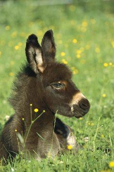 Sweet, cute little fuzzy Donkey, Burro lying in a field of wild flowers, buttercups.