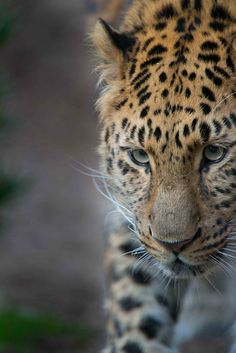 Amur Leopard - beautiful cat!