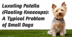 Learn how to address the problem of floating kneecaps or luxating patellas in dogs before considering surgery for your pet. http://healthypets.mercola.com/sites/healthypets/archive/2011/01/11/recognising-floating-knee-caps-in-pet-dogs.aspx