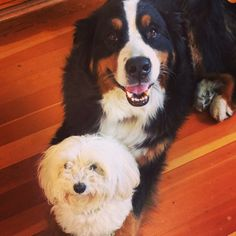 Buba and Lena  Bernese mountain dog and multipoo