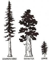 31 super ideas for redwood tree silhouette tattoo Redwood Bonsai, Redwood Forest, Redwood Tattoo, Tree Silhouette Tattoo, Humboldt Redwoods State Park, Sequoiadendron Giganteum, Sequoia Sempervirens, Giant Sequoia Trees, Forest Tattoos