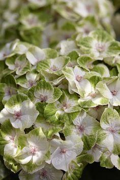 Hydrangea Everlasting® Noblesse PPAF   Plants Nouveau