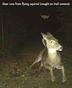 Funny Memes - [Deer running from a flying squirrel as caught on a trail camera] Funny Animal Pictures, Cute Funny Animals, Funny Cute, Funny Pics, Funny Squirrel Pictures, That's Hilarious, Random Pictures, Animal Pics, Videos Funny