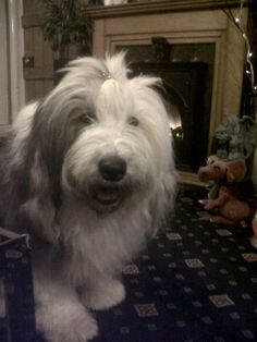 91 Best Old English sheepdogs-oes images in 2019 | English