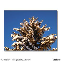 Snow covered blue spruce postcard