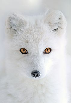 Arctic Fox Wallpaper Cute Aesthetic Pin By Renzo Hernandez On Life In The Wild Pinterest