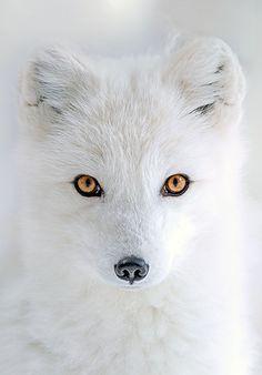 Arctic Eyes by Hisham Atallah