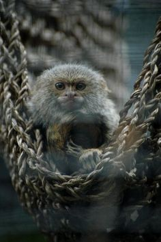 A pygmy marmoset. Adult size is 5 inches long at most. I love anything pygmy.so cute! Pygmy Marmoset, Fainting Goat, Small Monkey, Monkey World, Pot Belly Pigs, Smell Good, Goats, Creatures, Ferret