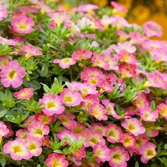 Superbells Sweet Tart Calibrachoa  A knockout plant for hanging baskets or large containers, Superbells Sweet Tart calibrachoa brings a candy-color shade of pink together with a soft yellow throat. The combination is stunning -- perfect for mixing with other pastels or bolder colors. It's an excellent variety for attracting hummingbirds, and it blooms all summer long -- even after a light frost.