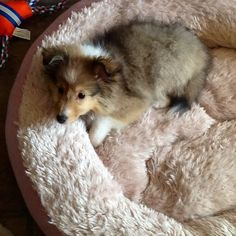 Darling Sheltie puppy