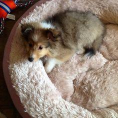 Darling Sheltie puppy