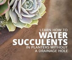 Keep succulents alive by following the watering tips in this post!