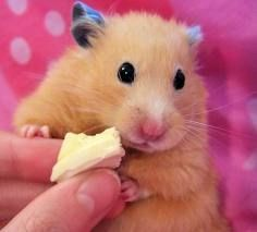 cute hamster aww it's just so chubby