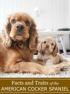 Facts and Traits of the American Cocker Spaniel Dog - Miss Molly Says Cocker Spaniel Temperament, Cocker Spaniel Breeds, Black Cocker Spaniel, American Cocker Spaniel, English Cocker Spaniel, Most Cutest Dog, Every Dog Breed, Scary Dogs, Cockerspaniel