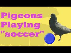 Pigeons playing soccer Just having a little fun and trying to make people happy. I filmed this video outside a mini supermarket. please enjoy this funny pige. Pigeon Funny, Yellow Gloves, Stay Happy, Soccer, Pets, Projects, Animals, Log Projects, Futbol