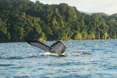 Foto de Parque Nacional Natural Utria, Nuqui: Ballenas en Utría - Confira as 1.586 fotos e vídeos reais dos membros do TripAdvisor de Parque Nacional Natural Utria