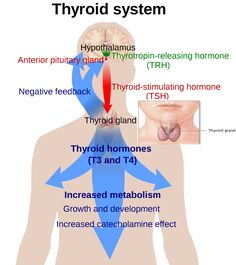 Thyroid, Hyper or Hypo: The Theory