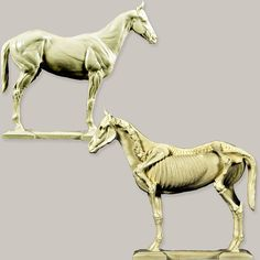 Anatomy of a Horse Model If you are wanting to learn the proper anatomy of a horse, this high quality horse body anatomy study is a great tool to have.The left side shows the bone structure of the horse.