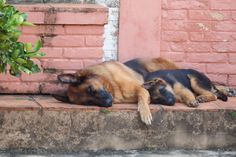 GSDs...snoozing