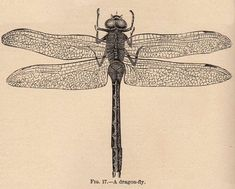 Vintage Clip Art - Dragonfly - The Graphics Fairy