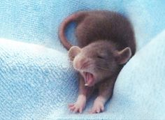 Rat baby with Dumbo ears.I dont like rats, but this is adorable Hamsters, Rodents, Baby Mouse, Cute Mouse, Cute Baby Animals, Funny Animals, Dumbo Ears, Baby Dumbo, Pet Mice