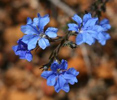 Blue Lechenaultia