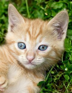 How To Clean Kittens Ears - Get Your Kitten Used To Have His Ears Cleaned For A Young Age.
