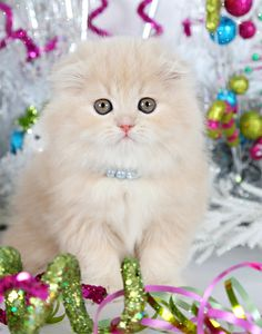 Adorable teacup Persian kitten with folded ears! For more New Years cats, visit https://www.facebook.com/funholidaycats