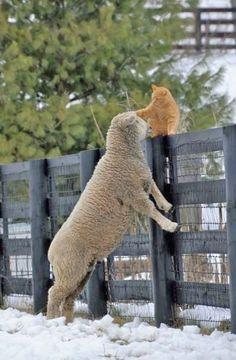 sheep & cat