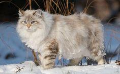 Seal Lynx Neva Siberian. Cream colored coat with blue eyes.