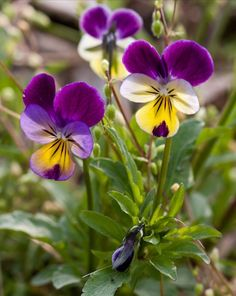 Viola tricolor Styvmorsviol