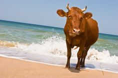 This cow who's just chillin' at the beach, super casual-like: